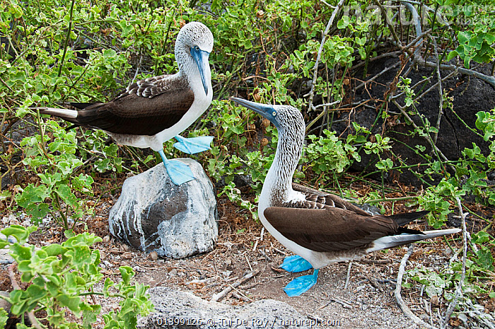 Blue-footed Booby (Sula nebouxii) displaying on rock with another watching. Espanola Island, Galapagos, May., BEHAVIOUR,BIRDS,BOOBIES,COURTSHIP,dancing,DISPLAY,Ecuador,GALAPAGOS,HUMOROUS,SEABIRDS,SOUTH AMERICA,Sulidae,two,VERTEBRATES,Communication,SOUTH-AMERICA,Concepts, Tui De Roy