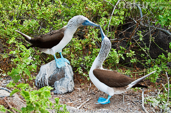 Blue-footed Booby (Sula nebouxii) displaying on rock with another watching. Espanola Island, Galapagos, May.  ,  BEHAVIOUR,BIRDS,BOOBIES,COURTSHIP,dancing,DISPLAY,Ecuador,GALAPAGOS,SEABIRDS,SOUTH AMERICA,Sulidae,VERTEBRATES,Communication,SOUTH-AMERICA  ,  Tui De Roy