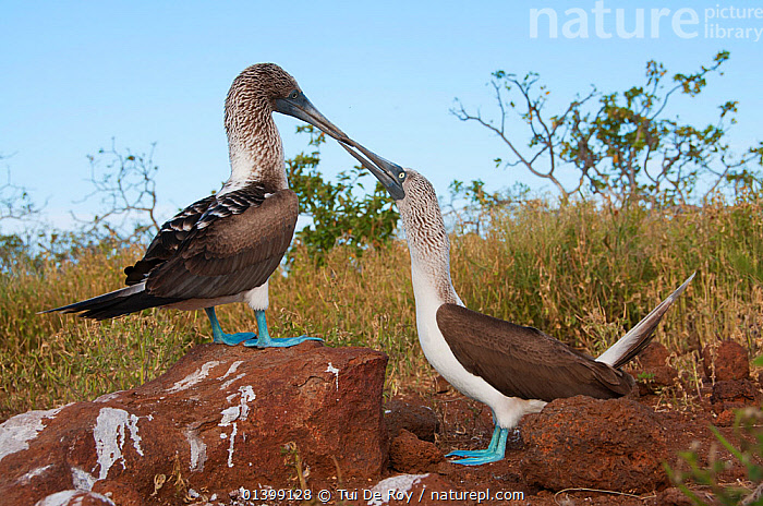 Blue-footed Booby (Sula nebouxii) displaying on rock with another watching and interacting. Espanola Island, Galapagos, May., BEHAVIOUR,BIRDS,BOOBIES,COURTSHIP,dancing,DISPLAY,Ecuador,GALAPAGOS,INTERACTION,KISSING,SEABIRDS,SOUTH AMERICA,Sulidae,two,VERTEBRATES,Communication,SOUTH-AMERICA, Tui De Roy