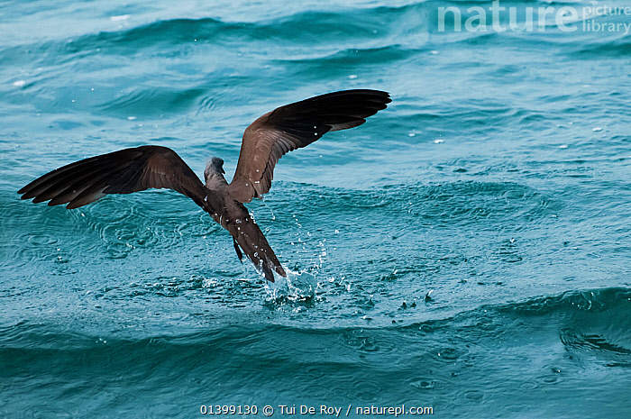 Brown / Common noddy (Anous stolidus) taking flight from water. Santa Cruz Island, Galapagos, June., ACTION,BIRDS,BROWN NODDY,Ecuador,FLYING,GALAPAGOS,NODDY TERN,SEABIRDS,SOUTH AMERICA,Sternidae,SURFACE,TERNS,VERTEBRATES,SOUTH-AMERICA, Tui De Roy