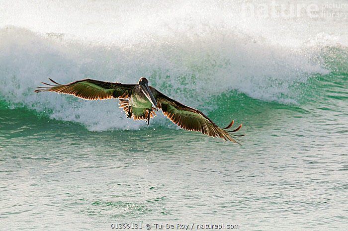 Brown pelican (Pelecanus occidentalis) in flight above wave. San Cristobal Island, Galapagos, Ecuador, June.  ,  BIRDS,Ecuador,FLYING,GALAPAGOS,PELICANIDAE,PELICANS,SEABIRDS,SOUTH AMERICA,VERTEBRATES,WAVES,SOUTH-AMERICA,Catalogue5  ,  Tui De Roy