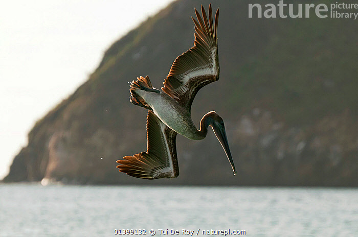 Brown pelican (Pelecanus occidentalis) diving. San Cristobal Island, Galapagos, Ecuador, June., ACTION,BIRDS,DIVING,Ecuador,FLYING,GALAPAGOS,PELICANIDAE,PELICANS,SEABIRDS,SOUTH AMERICA,VERTEBRATES,SOUTH-AMERICA, Tui De Roy