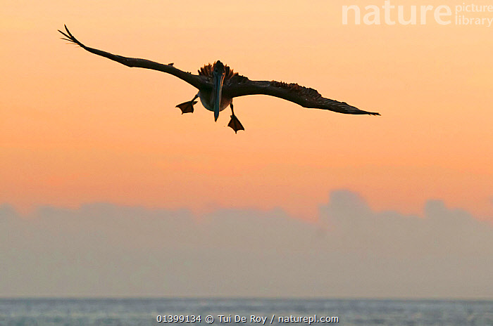 Brown pelican (Pelecanus occidentalis) in flight against dusky sky. San Cristobal Island, Galapagos, Ecuador, June.  ,  BIRDS,DUSK,FLYING,PELICANIDAE,PELICANS,SEABIRDS,SILHOUETTES,twilight,VERTEBRATES,SOUTH-AMERICA  ,  Tui De Roy