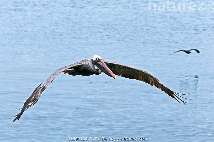 Brown pelicans (Pelecanus occidentalis) in flight over water. Santa Cruz Island, Galapagos, Ecuador, June., BIRDS,Ecuador,FLYING,full frame,GALAPAGOS,PELICANIDAE,PELICANS,SEABIRDS,SOUTH AMERICA,two,VERTEBRATES,SOUTH-AMERICA, Tui De Roy