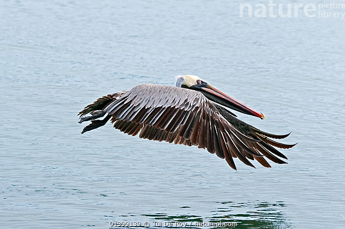 Brown pelican (Pelecanus occidentalis) in flight low over water. Santa Cruz Island, Galapagos, Ecuador, June.  ,  BIRDS,Ecuador,FLYING,GALAPAGOS,PELICANIDAE,PELICANS,PROFILE,SEABIRDS,SOUTH AMERICA,VERTEBRATES,SOUTH-AMERICA  ,  Tui De Roy