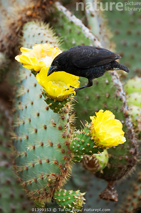 Cactus finch (Geospiza scandens) feeding on cactus flower nectar and pollen. Espanola, Galapagos Islands, November., BEHAVIOUR,BIRDS,Ecuador,Emberizidae,FEEDING,FINCHES,FLOWERS,GALAPAGOS,songbirds,SOUTH AMERICA,VERTEBRATES,YELLOW, Tui De Roy