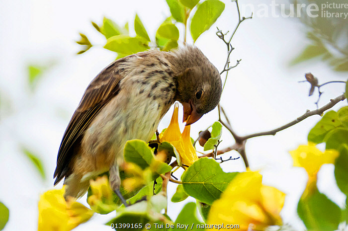 Vegetarian finch (Platyspiza crassirostris) feeding on flower. Santa Cruz Island, Galapagos, Ecuador, November., BEHAVIOUR,BIRDS,CAMARHYNCHUS,Ecuador,Emberizidae,FEEDING,FINCHES,FLOWERS,GALAPAGOS,songbirds,SOUTH AMERICA,VERTEBRATES, Tui De Roy