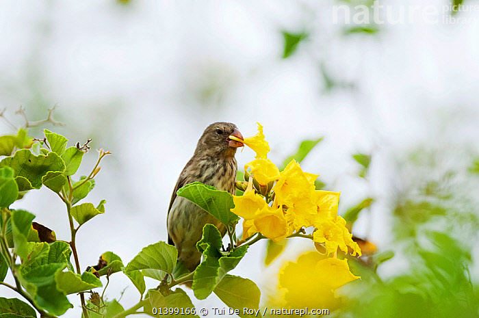 Vegetarian finch (Platyspiza crassirostris) feeding on flowers. Santa Cruz Island, Galapagos, Ecuador, November., BEHAVIOUR,BIRDS,CAMARHYNCHUS,Ecuador,Emberizidae,FEEDING,FINCHES,FLOWERS,GALAPAGOS,songbirds,SOUTH AMERICA,VERTEBRATES, Tui De Roy