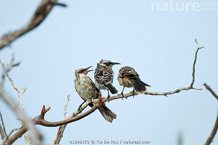 Espanola / hood mockingbird (Mimus macdonaldi)young 'helpers' being submissive to older bird, Espanola Island, Galapagos  ,  BEHAVIOUR,BIRDS,DOMINANCE,ENDANGERED,GALAPAGOS,GROUPS,juveniles,juvenile,Mimidae,MOCKINGBIRDS,NESOMIMUS,NESOMIMUS TRIFASCIATUS,songbirds,SOUTH AMERICA,VERTEBRATES,Vulnerable  ,  Tui De Roy