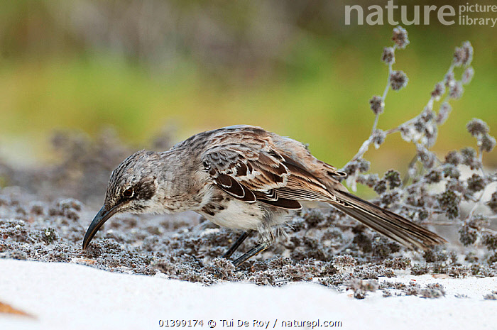 Espanola / Hood mockingbird, digging around beach plat roots to find insects, Espanola Island, Galapagos, BIRDS,digging,ENDANGERED,FORAGING,GALAPAGOS,Mimidae,MOCKINGBIRDS,NESOMIMUS,NESOMIMUS TRIFASCIATUS,songbirds,SOUTH AMERICA,VERTEBRATES,Vulnerable, Tui De Roy