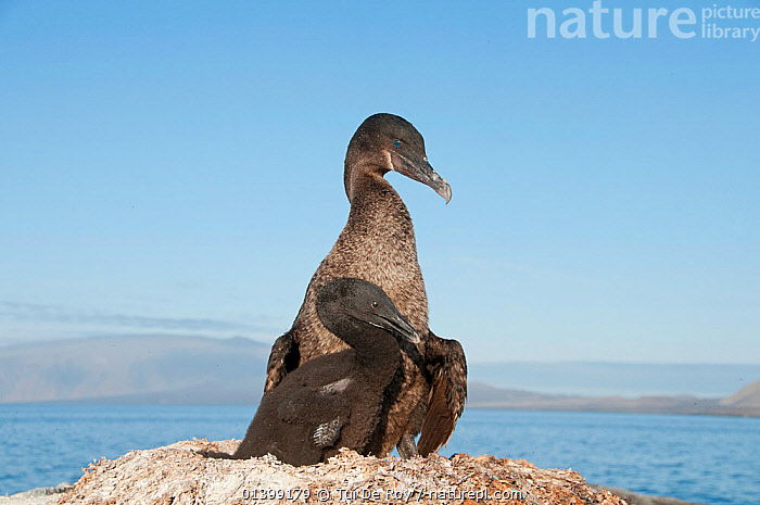 Flightless Cormorant (Nannopterum / Phalacrocorax harrisi) on nest with chick. Banks Bay, Isabela Island, Galapagos Islands, Ecuador, December.  ,  BIRDS,CHICKS,CORMORANTS,Ecuador,ENDANGERED,GALAPAGOS,NESTS,Phalacrocoracidae,PORTRAITS,SEABIRDS,SOUTH AMERICA,two,VERTEBRATES,Vulnerable,SOUTH-AMERICA  ,  Tui De Roy