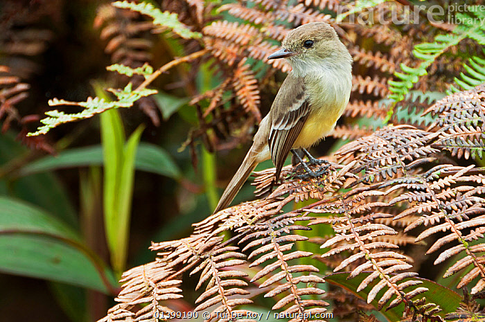 Galapagos flycatcher (Myiarchus magnirostris) perched on fern. Santa Cruz Highlands, Galapagos, Ecuador, November.  ,  BIRDS,Ecuador,FLYCATCHERS,GALAPAGOS,songbirds,SOUTH AMERICA,Tyrannidae,VERTEBRATES  ,  Tui De Roy