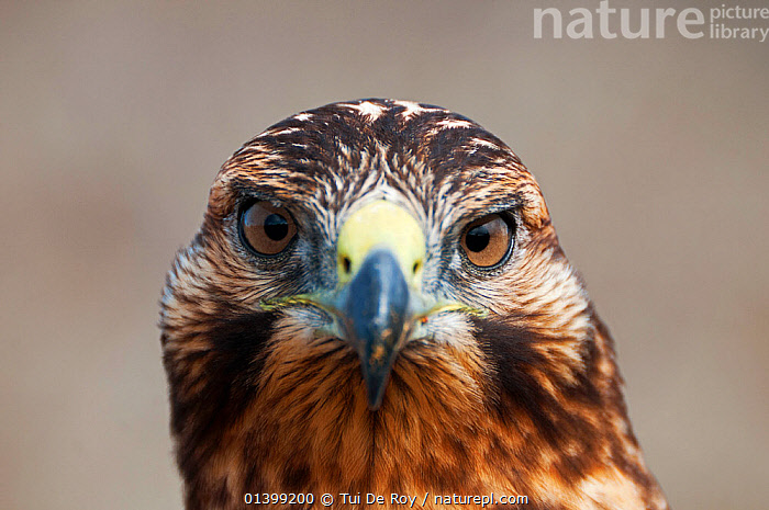 Galapagos hawk (Buteo galapagoensis) portrait. Isabela Island, Galapagos, Ecuador, December.  ,  BIRDS,BIRDS OF PREY,Ecuador,GALAPAGOS,HAWKS,HEADS,looking at camera,PORTRAITS,SOUTH AMERICA,VERTEBRATES  ,  Tui De Roy