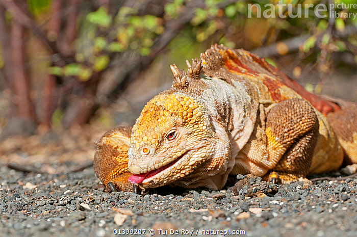 Galapagos land iguana (Conolophus subcristatus) cleaning its foot, Isabela Island, Galapagos, Ecuador, June., BEHAVIOUR,cleaning,ENDANGERED,IGUANAS,Iguanidae,LIZARDS,PORTRAITS,REPTILES,TONGUES,VERTEBRATES,Vulnerable,,Lizards,,,Lizards,, Tui De Roy