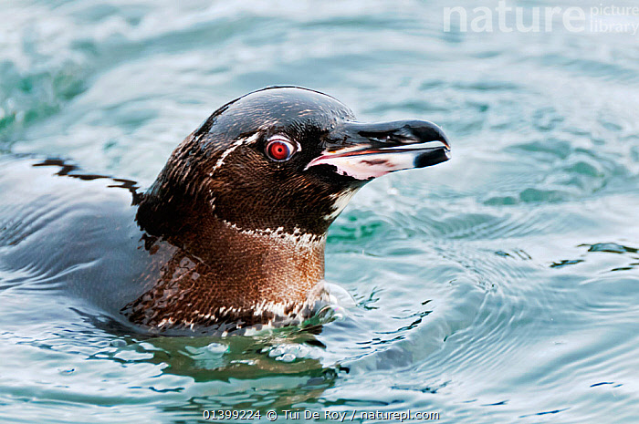 Galapagos penguin (Spheniscus mandiculus) swimming at water surface. Endangered. Isabela Island, Galapagos, Ecuador, June., BIRDS,Ecuador,ENDANGERED,FLIGHTLESS,GALAPAGOS,PENGUINS,PORTRAITS,SEABIRDS,SOUTH AMERICA,SURFACE,VERTEBRATES,SOUTH-AMERICA, Tui De Roy