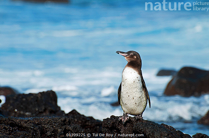 Galapagos penguin (Spheniscus mandiculus) standing on coastal volcanic rock. Endangered. Isabela Island, Galapagos, Ecuador, June., BIRDS,COASTS,ENDANGERED,FLIGHTLESS,HABITAT,PENGUINS,PORTRAITS,SEABIRDS,STANDING,VERTEBRATES,SOUTH-AMERICA, Tui De Roy