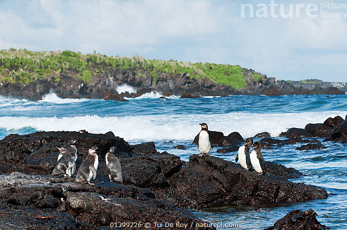 Galapagos penguins (Spheniscus mandiculus) standing on coastal volcanic rock. Endangered. Isabela Island, Galapagos, Ecuador, June., BIRDS,COASTS,Ecuador,ENDANGERED,FLIGHTLESS,GALAPAGOS,GROUPS,HABITAT,PENGUINS,ROCKS,SEABIRDS,SOUTH AMERICA,VERTEBRATES,SOUTH-AMERICA, Tui De Roy