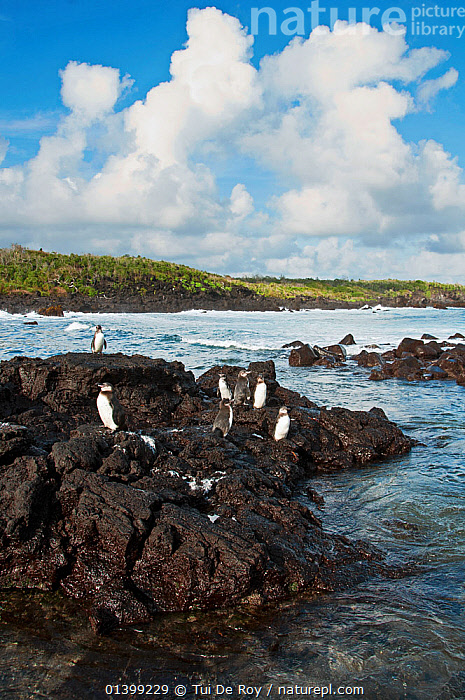 Galapagos penguins (Spheniscus mandiculus) standing on coastal volcanic rock. Endangered. Isabela Island, Galapagos, Ecuador, June.  ,  BIRDS,COASTS,Ecuador,ENDANGERED,FLIGHTLESS,GALAPAGOS,GROUPS,HABITAT,PENGUINS,ROCKS,SEABIRDS,SOUTH AMERICA,VERTEBRATES,VERTICAL,SOUTH-AMERICA  ,  Tui De Roy