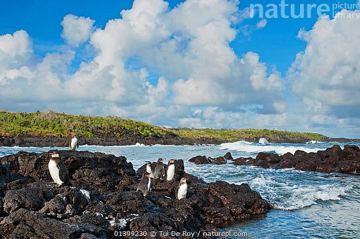 Galapagos penguins (Spheniscus mandiculus) standing on coastal volcanic rock. Endangered. Isabela Island, Galapagos, Ecuador, June.  ,  BIRDS,COASTS,Ecuador,ENDANGERED,FLIGHTLESS,GALAPAGOS,GROUPS,HABITAT,PENGUINS,ROCKS,SEABIRDS,SOUTH AMERICA,VERTEBRATES,SOUTH-AMERICA  ,  Tui De Roy