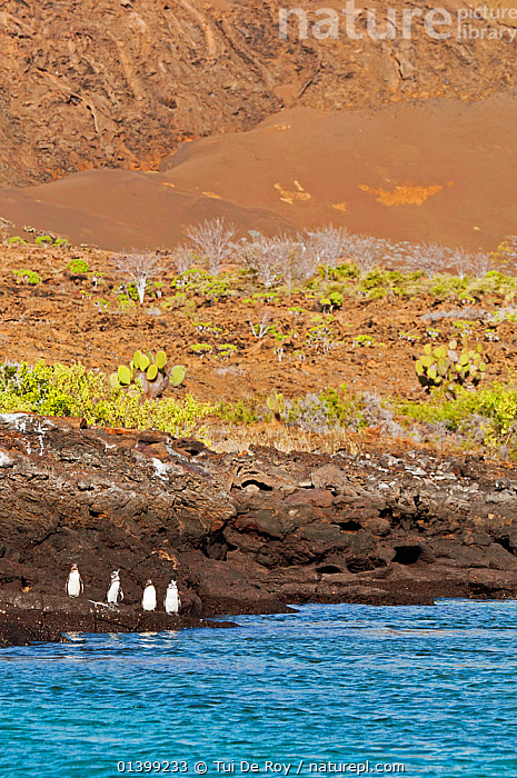 Galapagos penguins (Spheniscus mandiculus) standing on coastal volcanic rock. Endangered. Isabela Island, Galapagos, Ecuador, June.  ,  BIRDS,COASTS,Ecuador,ENDANGERED,FLIGHTLESS,GALAPAGOS,GROUPS,HABITAT,LANDSCAPES,PENGUINS,ROCKS,SEABIRDS,SOUTH AMERICA,VERTEBRATES,VERTICAL,SOUTH-AMERICA  ,  Tui De Roy