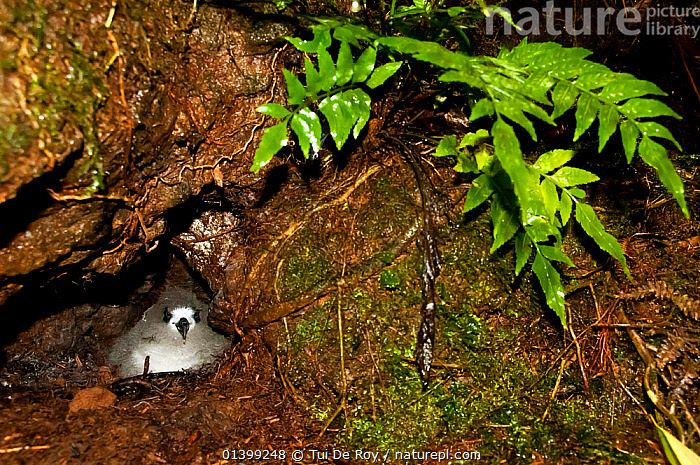Galapagos Petrel (Pterodroma phaeopygia) chick in nesting hole. Critically endangered. Santa Cruz Highlands, Galapagos Islands, Ecuador, June.  ,  BIRDS,CHICKS,CRITICALLY ENDANGERED,Ecuador,GALAPAGOS,HABITAT,nesting,NESTS,PETRELS,Procellariidae,SEABIRDS,SOUTH AMERICA,VERTEBRATES,SOUTH-AMERICA  ,  Tui De Roy