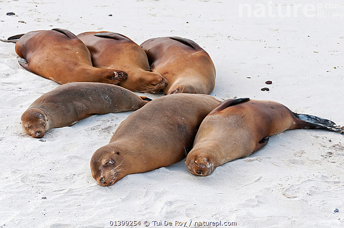 Galapagos sea lions (Zalophus wollebaeki) resting on beach sand. Endangered. Espanola Island, Galapagos, Ecuador, June., BEACHES,CARNIVORES,Ecuador,ENDANGERED,FAMILIES,GALAPAGOS,GROUPS,MAMMALS,MARINE,Otariidae,PINNIPEDS,resting,sand,SEALIONS,SIX,SLEEPING,SOUTH AMERICA,THREE,VERTEBRATES,SOUTH-AMERICA, Tui De Roy