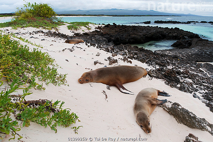 Galapagos sea lions (Zalophus wollebaeki) resting on volcanic beach. Endangered. San Cristobal Island, Galapagos, Ecuador, June.  ,  BEACHES,CARNIVORES,Ecuador,ENDANGERED,GALAPAGOS,GROUPS,HABITAT,LANDSCAPES,MAMMALS,MARINE,Otariidae,PINNIPEDS,resting,SEALIONS,SLEEPING,SOUTH AMERICA,VERTEBRATES,SOUTH-AMERICA  ,  Tui De Roy
