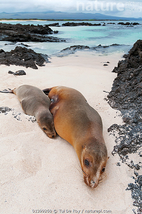 Galapagos sea lion (Zalophus wollebaeki) mother and pup resting on volcanic beach. Endangered. San Cristobal Island, Galapagos, Ecuador, June.  ,  BEACHES,CARNIVORES,COASTS,Ecuador,ENDANGERED,GALAPAGOS,HABITAT,MAMMALS,MARINE,MOTHER BABY,Otariidae,PINNIPEDS,resting,SEALIONS,SLEEPING,SOUTH AMERICA,VERTEBRATES,VERTICAL,SOUTH-AMERICA  ,  Tui De Roy