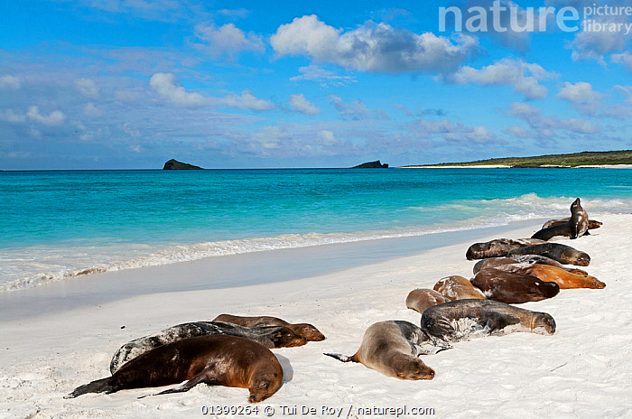 Galapagos sea lions (Zalophus wollebaeki) basking on sand beach. Endangered. Espanola Island, Galapagos, Ecuador, June., BEACHES,CARNIVORES,COASTS,Ecuador,ENDANGERED,GALAPAGOS,GROUPS,LANDSCAPES,MAMMALS,MARINE,Otariidae,PINNIPEDS,resting,SEALIONS,SLEEPING,SOUTH AMERICA,VERTEBRATES,SOUTH-AMERICA, Tui De Roy