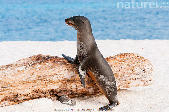 Galapagos sea lion (Zalophus wollebaeki) leaning against log on sandy beach. Endangered. Seymour Island, Galapagos, Ecuador, June., BEACHES,CARNIVORES,Ecuador,ENDANGERED,flotsam,GALAPAGOS,MAMMALS,MARINE,Otariidae,PINNIPEDS,PORTRAITS,SEALIONS,SOUTH AMERICA,STANDING,VERTEBRATES,SOUTH-AMERICA, Tui De Roy
