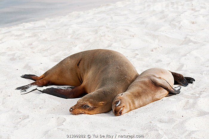 Galapagos sea lion (Zalophus wollebaeki) mother and pup resting on sand beach. Endangered. Seymour Island, Galapagos, Ecuador, June.  ,  AFFECTIONATE,BEACHES,CARNIVORES,CUTE,Ecuador,ENDANGERED,GALAPAGOS,MAMMALS,MARINE,MOTHER BABY,Otariidae,PINNIPEDS,resting,sand,SEALIONS,SLEEPING,SOUTH AMERICA,two,VERTEBRATES,SOUTH-AMERICA  ,  Tui De Roy