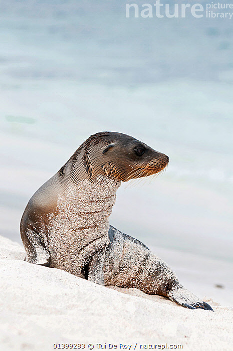 Galapagos sea lion (Zalophus wollebaeki) on sand beach. Endangered. Seymour Island, Galapagos, Ecuador, June.  ,  BEACHES,CARNIVORES,Ecuador,ENDANGERED,GALAPAGOS,MAMMALS,MARINE,Otariidae,PINNIPEDS,PORTRAITS,SEALIONS,SOUTH AMERICA,VERTEBRATES,VERTICAL,SOUTH-AMERICA  ,  Tui De Roy