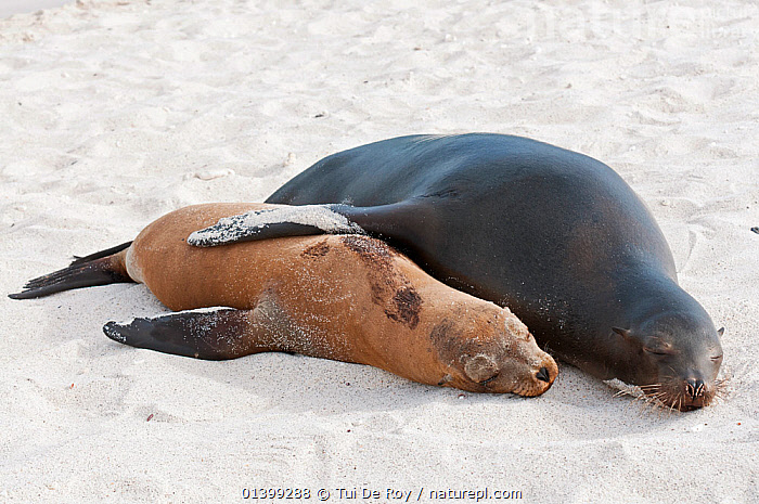 Galapagos sea lion (Zalophus wollebaeki) mother and pup resting on sand. Endangered. Seymour Island, Galapagos, Ecuador, June.  ,  AFFECTIONATE,CARNIVORES,CUTE,Ecuador,ENDANGERED,GALAPAGOS,HUMOROUS,MAMMALS,MARINE,MOTHER BABY,Otariidae,PINNIPEDS,resting,SEALIONS,SLEEPING,SOUTH AMERICA,two,VERTEBRATES,SOUTH-AMERICA,Concepts  ,  Tui De Roy