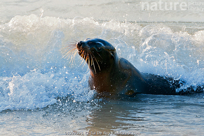 Galapagos sea lion (Zalophus wollebaeki) in coastal surf. Endangered. Galapagos Islands, Ecuador, June., CARNIVORES,Ecuador,ENDANGERED,GALAPAGOS,MAMMALS,MARINE,Otariidae,PINNIPEDS,SEALIONS,SOUTH AMERICA,VERTEBRATES,WATER,WAVES,SOUTH-AMERICA, Tui De Roy
