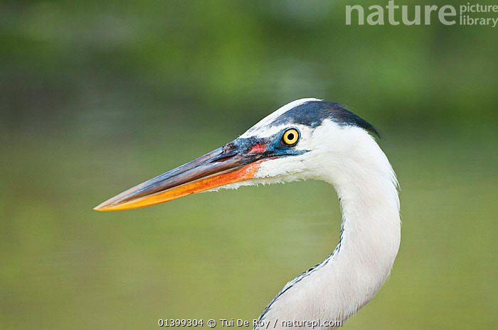 Great blue heron (Ardea herodias) head in profile. Santa Cruz Island, Galapagos, June.  ,  BIRDS,Ecuador,GALAPAGOS,HEADS,HERONS,PORTRAITS,PROFILE,SOUTH AMERICA,VERTEBRATES  ,  Tui De Roy