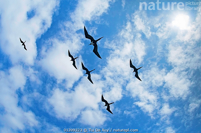 Magnificent frigatebirds (Fregata magnificens) flying overhead in formation against fluffy white clouds. Espanola Island, Galapagos, Ecuador, June., BACKGROUNDS,BIRDS,Ecuador,FLYING,FRIGATE BIRDS,GALAPAGOS,GROUPS,SEABIRDS,SILHOUETTES,SIX,SKIES,SOUTH AMERICA,VERTEBRATES,SOUTH-AMERICA, Tui De Roy