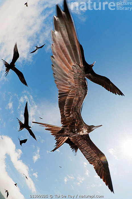 Magnificent frigatebirds (Fregata magnificens) in low flight ovehead. Espanola Island, Galapagos, Ecuador, December., BACKGROUNDS,BIRDS,Ecuador,FLYING,FRIGATE BIRDS,full frame,GALAPAGOS,GROUPS,SEABIRDS,SILHOUETTES,SKIES,SOUTH AMERICA,VERTEBRATES,VERTICAL,wingspan,SOUTH-AMERICA, Tui De Roy