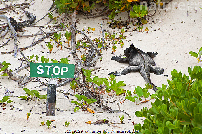 Marine iguana (Amblyrhynchus cristatus) basking on sand near a 'stop' sign. Galapagos Islands, Ecuador, June., Ecuador,GALAPAGOS,HABITAT,IGUANAS,LIZARDS,lying,REPTILES,resting,sand,SIGNS,SOUTH AMERICA,VERTEBRATES,SOUTH-AMERICA,,Lizards,,,Lizards,, Tui De Roy