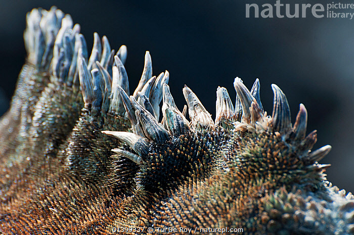 Marine iguana (Amblyrhynchus cristatus) dorsal crest spines. Galapagos Islands, Ecuador, December., crests,CRYPTIC,Detail,Ecuador,GALAPAGOS,IGUANAS,LIZARDS,REPTILES,SOUTH AMERICA,spikes,SPINES,VERTEBRATES,SOUTH-AMERICA,,Lizards,,,Lizards,, Tui De Roy