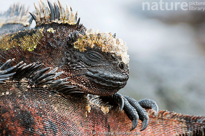 Marine iguana (Amblyrhynchus cristatus) resting on the tail of another. Galapagos Island, Ecuador, June.  ,  Ecuador,GALAPAGOS,IGUANAS,LIZARDS,PORTRAITS,REPTILES,resting,SLEEPING,SOUTH AMERICA,TAILS,VERTEBRATES,SOUTH-AMERICA,,Lizards,,,Lizards,  ,  Tui De Roy