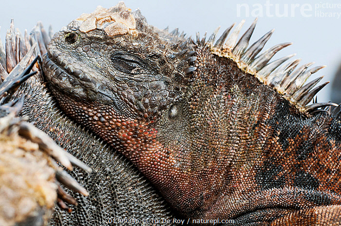Marine iguana (Amblyrhynchus cristatus) sleeping on another. Galapagos Islands, Ecuador, June.  ,  CLOSE UPS,IGUANAS,LIZARDS,PROFILE,REPTILES,resting,SLEEPING,VERTEBRATES,,Lizards,,,Lizards,  ,  Tui De Roy