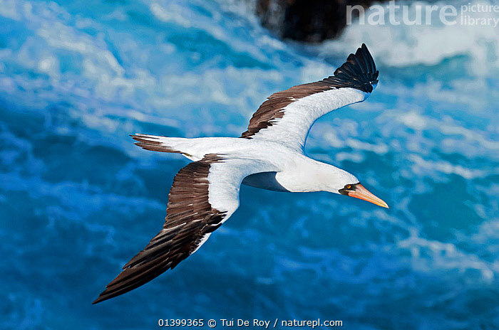 Nazca booby (Sula granti) in flight over sea, Espanola Island, Galapagos, Ecuador, May.  ,  BIRDS,BLUE FACED BOOBY,BOOBIES,Ecuador,FLYING,full frame,GALAPAGOS,SEABIRDS,SOUTH AMERICA,SULA DACTYLATRA GRANTI,Sulidae,VERTEBRATES,SOUTH-AMERICA  ,  Tui De Roy