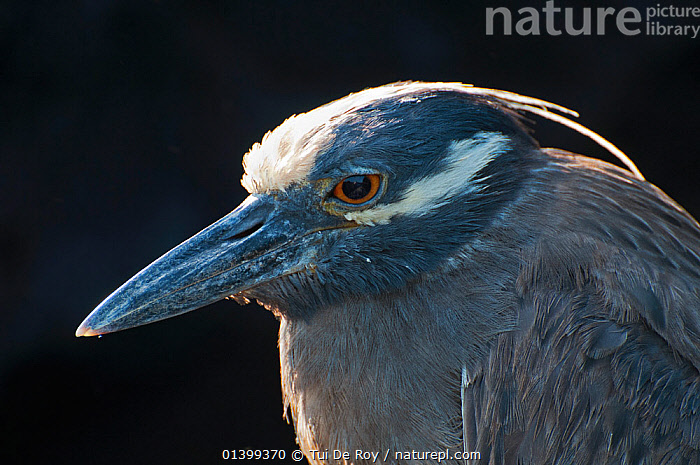 Yellow-crowned night heron (Nyctanassa / Nyctanassa violacea) portrait. Galapagos Islands, Ecuador, June., ardeidae, BIRDS, Ecuador, full-frame, GALAPAGOS, HEADS, HERONS, nyctanassa violacea, PORTRAITS, PROFILE, SOUTH-AMERICA, VERTEBRATES,Catalogue5, Tui De Roy