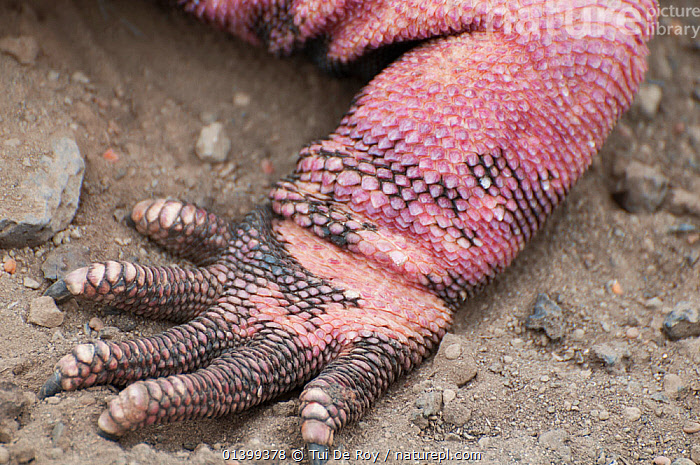 Pink iguana (Conolophus marthae) foot   Isabela Island, Galapagos, Critically endangered species  ,  CLOSE UPS,CRITICALLY ENDANGERED,DIGITS,FEET,GALAPAGOS,IGUANAS,Iguanidae,PINK,REPTILES,SOUTH AMERICA,SQUAMATES,VERTEBRATES  ,  Tui De Roy