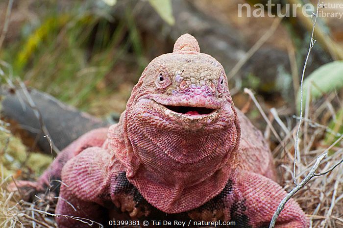 Pink iguana (Conolophus marthae)  Isabela Island, Galapagos, Critically endangered species  ,  CRITICALLY ENDANGERED,FACES,GALAPAGOS,happy,IGUANAS,Iguanidae,PINK,PORTRAITS,REPTILES,SOUTH AMERICA,SQUAMATES,VERTEBRATES  ,  Tui De Roy