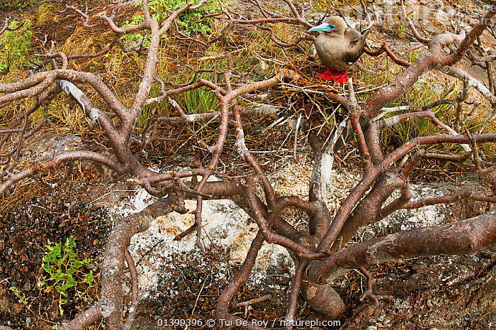 Red-footed booby (Sula sula) on nest in tree branches. Genovesa (Tower) Islands, Galapagos, June.  ,  BEHAVIOUR,BIRDS,BOOBIES,Ecuador,GALAPAGOS,HABITAT,nesting,NESTS,SEABIRDS,SOUTH AMERICA,Sulidae,VERTEBRATES,SOUTH-AMERICA  ,  Tui De Roy