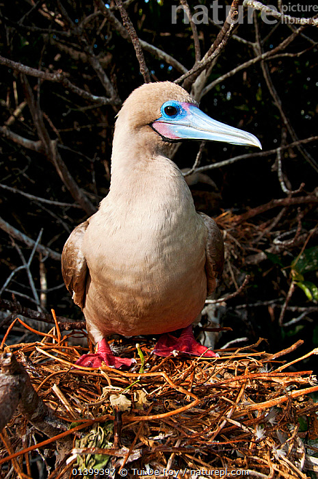 Red-footed booby (Sula sula) on nest on branches. Genovesa (Tower) Islands, Galapagos, June., BEHAVIOUR,BIRDS,BOOBIES,Ecuador,full frame,GALAPAGOS,nesting,NESTS,PORTRAITS,SEABIRDS,SOUTH AMERICA,Sulidae,VERTEBRATES,VERTICAL,SOUTH-AMERICA, Tui De Roy