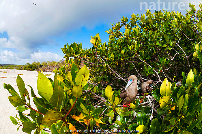 Red-footed booby (Sula sula) nesting in tree. Genovesa (Tower) Islands, Galapagos, June.  ,  BEHAVIOUR,BIRDS,BOOBIES,Ecuador,GALAPAGOS,HABITAT,nesting,NESTS,SEABIRDS,SOUTH AMERICA,Sulidae,TREES,VERTEBRATES,SOUTH-AMERICA,PLANTS  ,  Tui De Roy