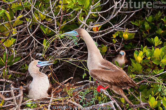 Red-footed booby (Sula sula) displaying by nest in tree. Genovesa (Tower) Islands, Galapagos, June.  ,  BEHAVIOUR,BIRDS,BOOBIES,DISPLAY,Ecuador,GALAPAGOS,HABITAT,MALE FEMALE PAIR,nesting,NESTS,SEABIRDS,SOUTH AMERICA,Sulidae,TREES,two,VERTEBRATES,Communication,SOUTH-AMERICA,PLANTS  ,  Tui De Roy
