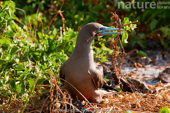 Red-footed booby (Sula sula) making its nest from dry branches. Genovesa (Tower) Islands, Galapagos, June.  ,  BEHAVIOUR,BIRDS,BOOBIES,Ecuador,GALAPAGOS,nesting,nest material,NESTS,SEABIRDS,SOUTH AMERICA,Sulidae,VERTEBRATES,SOUTH-AMERICA  ,  Tui De Roy